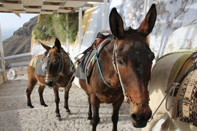 Donkey friends in Santorini